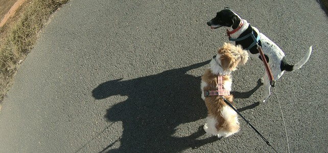 Gopro dog harness on our walk