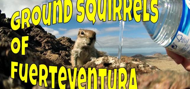 Fuerteventura Squirrels or Fuerteventura Chipmunks